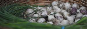 Garlic from Hall Farm at the Simsbury Farmers Market